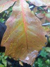 Portal Cool Chestnut Oak zgut e 1 Jahr alt,