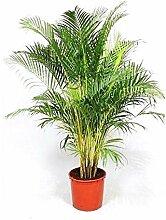 Portal Cool Dypsis Lutescens, Areca Palm Goldene