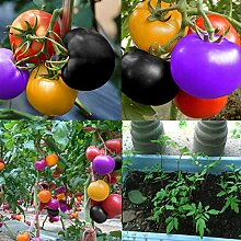 Portal Cool E5C1 100Pcs Regenbogen Tomatensamen
