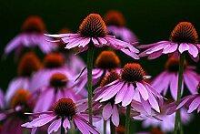 Portal Cool Echinacea Echinacea Purpurea 1000