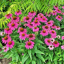 Portal Cool Echinacea Powwow Berry 8 Seeds