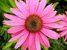 Portal Cool Echinacea purpurea   Eastern Sonnenhut