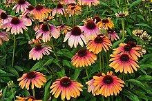 Portal Cool Echinacea Purpurea Seeds - Rainbow