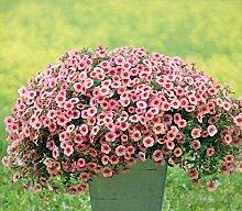 Portal Cool Erbstück Rosa Garten-Petunie mit