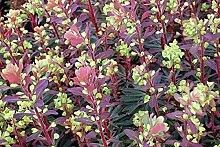Portal Cool Euphorbia amygdaloides