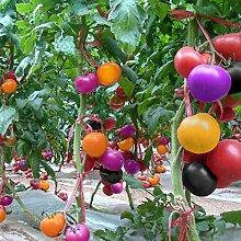Portal Cool F5Dd 100Pcs Regenbogen Tomatensamen
