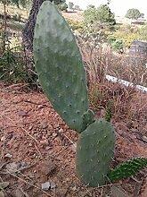 Portal Cool Ficus Opuntia Indica - (Feigenkaktus,