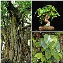 Portal Cool Ficus religiosa 50 Samen, Bonsai Samen
