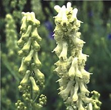Portal Cool Flower - Aconitum vulparia - 200 Seeds