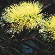 Portal Cool Flower - Callistemon salignus - Putzer