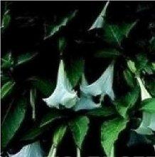 Portal Cool Flower - Datura Engels-Trompete -
