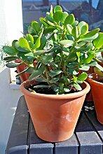 Portal Cool Geldbaum - Jade Pflanze Große