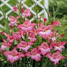 Portal Cool Gladiole Charming Beauty - 10