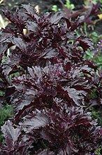 Portal Cool Herb Basilikum lila Rüschen 6000