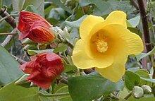 Portal Cool Hibiscus Sea Hibiscus Vau tiliaceus
