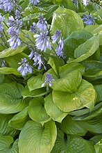 Portal Cool Hosta Sum and Substance - Funkie,