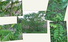 Portal Cool Kaffee-Pflanzensamen - Indische