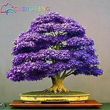 Portal Cool Lila Ahorn Bonsai Baum Samen