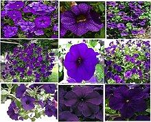 Portal Cool Lila Petunie blüht über 100 Samen