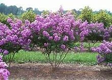 Portal Cool Lilac Bonsai, Flieder Samen,
