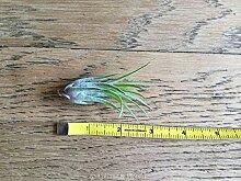 Portal Cool Live-Luft-Pflanze Tillandsia Ionantha