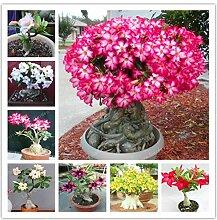 Portal Cool Mix: Desert Rose Topfblumen Samen