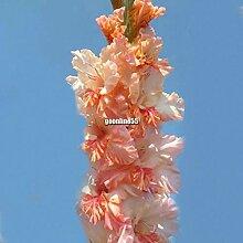 Portal Cool : Perennial Gladiolen nsamen Garten
