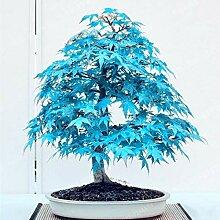 Portal Cool Rare Blau Maple Samen
