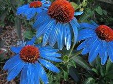 Portal Cool Rare Yangko Light Blue Echinacea