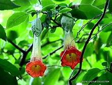Portal Cool Rote Engelstrompete Brugmansia