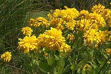 Portal Cool Rudbeckia Sonnenhut Goldquelle -