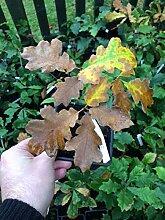 Portal Cool Samen Paket: Black Oak Pflanzgut 2