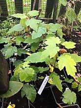 Portal Cool Samen Paket: Drummond Red Maple Tree