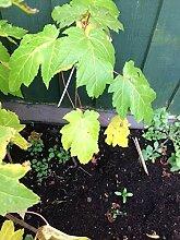 Portal Cool Samen Paket: Maple Tree Pflanzgut X