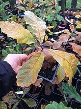 Portal Cool Samen Paket: Swamp White Oak/Quercus /