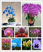 Portal Cool Schmetterlings-Orchideen Samen Blumen