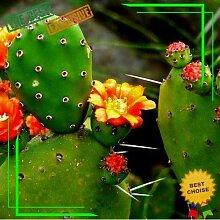 Portal Cool Seeds 50 Opuntia Seltene Feigenkaktus