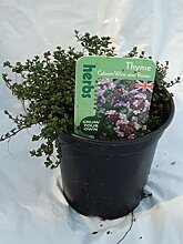 Portal Cool Thymian Caborn Wine & Roses Evergreen