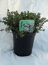 Portal Cool Thymian orange Herb Immergrün
