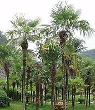Portal Cool Trachycarpus Fortunei Hanfpalme
