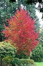 Portal Cool Trident Maple Samen Dreispitz-Ahorn