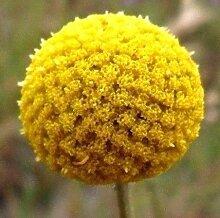 Portal Cool Trommelstock Blume Gelb Craspedia