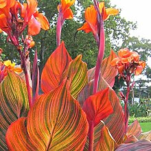 Portal Cool Tropic Canna - Canna Lilie, Pflanze In
