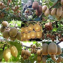 Portal Cool Typ3: 100 Stück Kiwi-Frucht-Samen