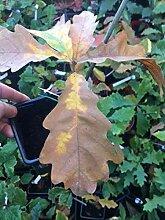 Portal Cool Ungarische Saplings 1 Jahr alt/Quercus