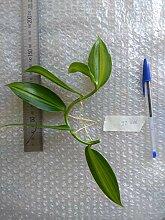 Portal Cool Variegata, Vanille Planifolia,