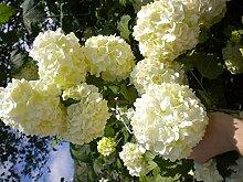 Portal Cool Viburnum Opulus Cv Roseum V18 von