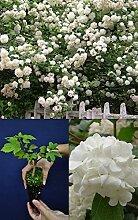 Portal Cool Viburnum Opulus Roseum Alveolus Blumen