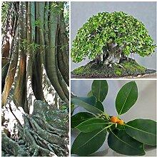 Portal Cool Von 50 De Oblique Ficus, Bonsai aus F