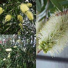 Portal Cool White Willow Putzer (Callistemon